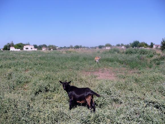 Васильковка. Козы возле руин зданий сельскохозяйственного предназначения