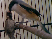 Cara Mengatasi Burung Cendet Mbagong Atau Miyiki Dan Mbayeki