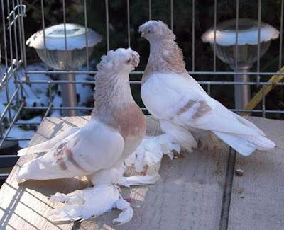Agaran Pigeon racing pigeons for sale -  Агаран