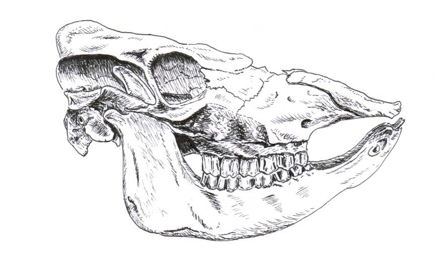 Chuck Does Art Bovine Skull Drawing