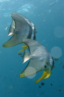 Foto van de ronde vleermuisvis