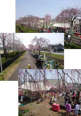 なかなか綺麗な枝垂桜でしょ!