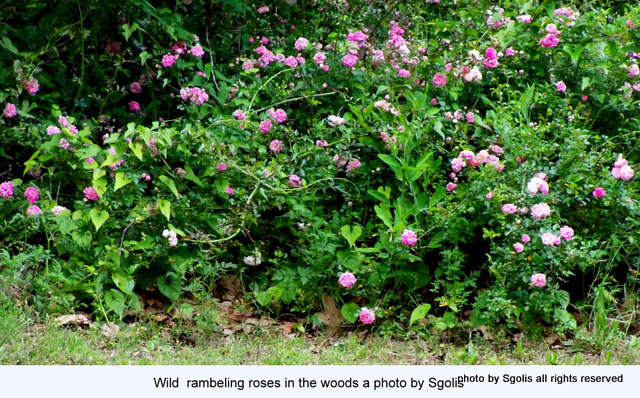 Yard And Garden Secrets Pruning Wild Climbing Roses