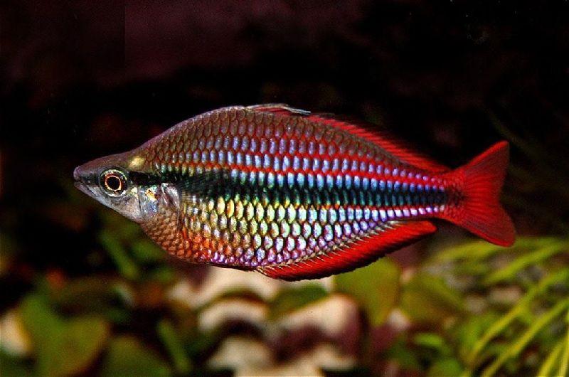 Ikan Aquascape yang Kuat - Rainbow