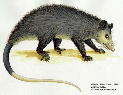 Zorro pelón Didelphis marsupialis