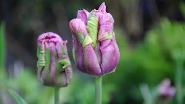 La espontaneidad de los tulipanes papagayo