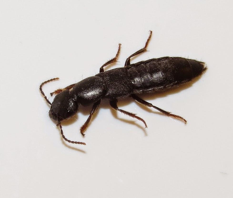 Rove Beetle Tasgius Winkleri About 10 12 Mm