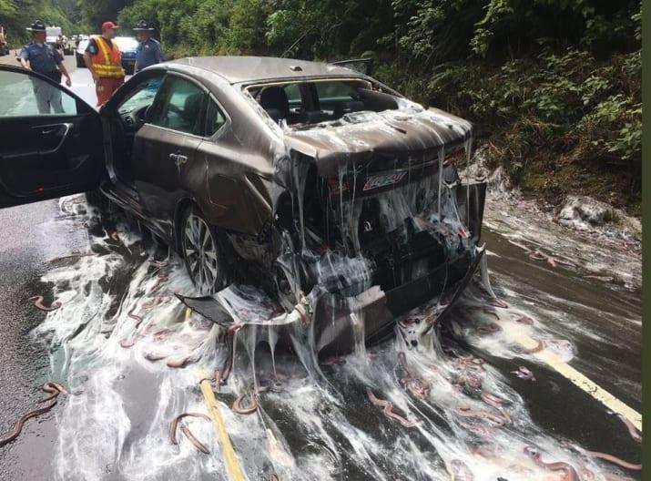 حادثة شاحنة مليئة بثعابين بحرية