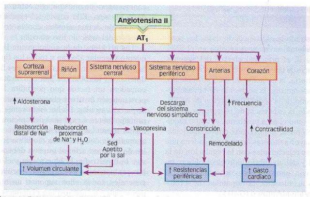 Aprende las acciones de la Angiotensina en los receptores AT1 y AT2 + VIDEO del Sistema Renina Angiotensina.