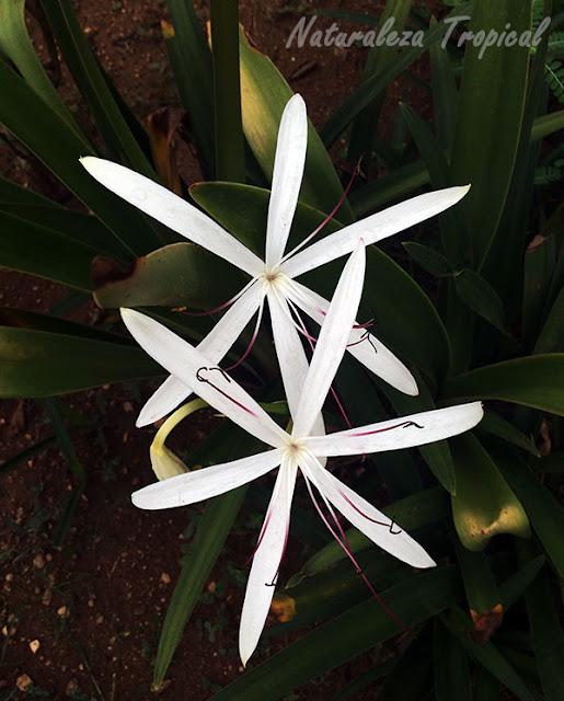 Par de flores blancas de una especie del género Crinum
