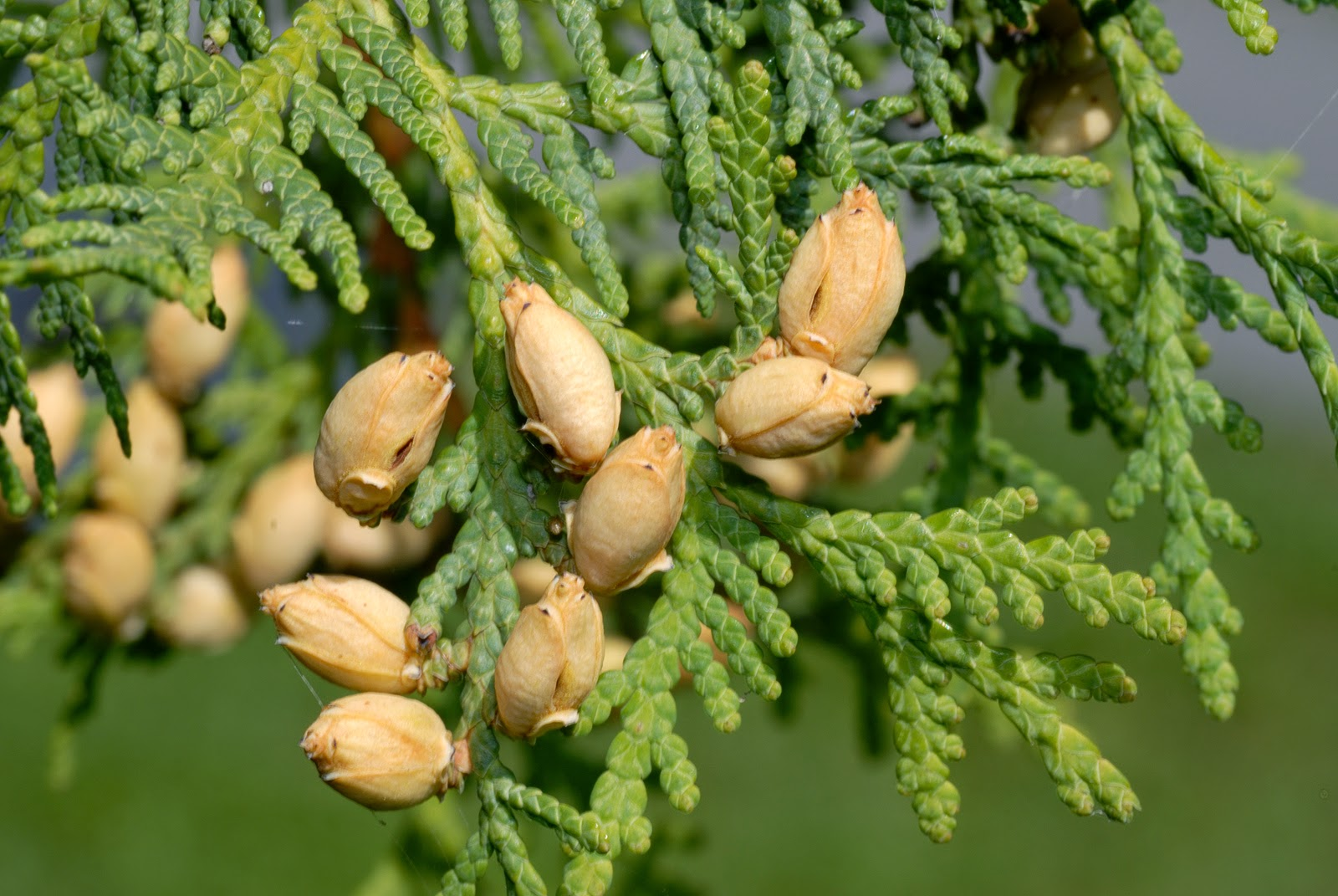Ikballe şifalı bitkiler
