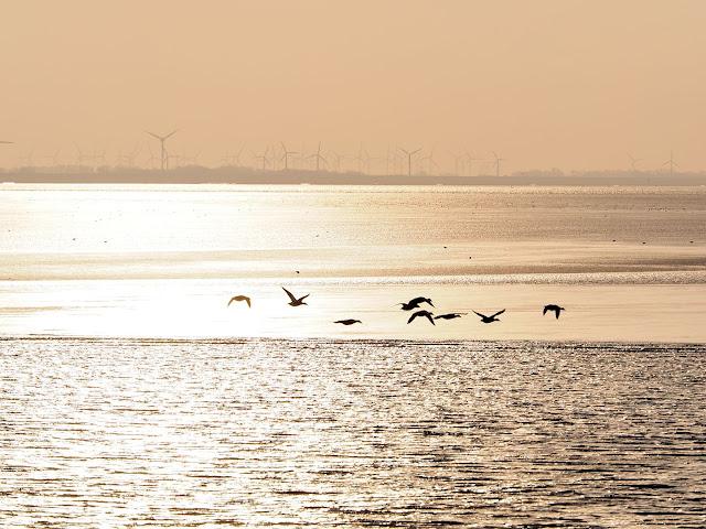 Wattenmeer, Nordsee, Vogelschwarm