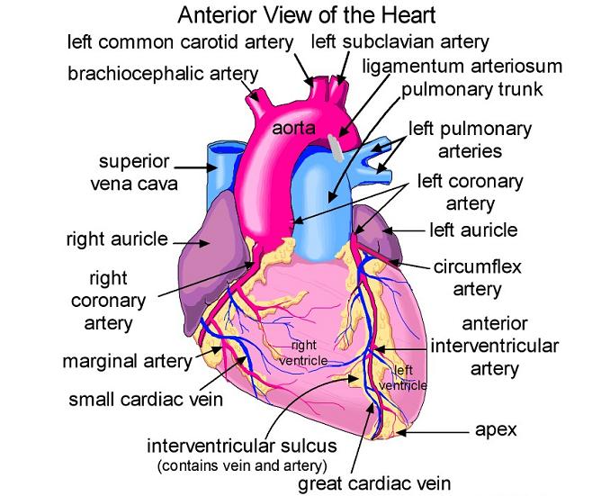 Biochemistry Class notes: Cardiac Anatomy: Basic