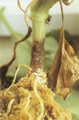 Resultado de imagen para Podredumbre de cuello y raiz