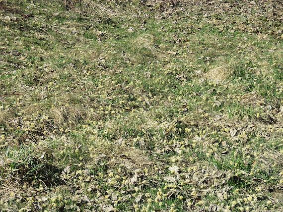 Bazie w trawie