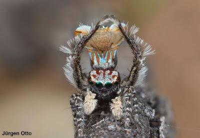 maratus vespa,  new-peacock-spider, vespa, Aranha-pavão, new-peacock-spider, spider, new spider, aranha, aranhas Austrália, austrália, novas espécies de aranhas da Austrália, natureza, conservação, blog Natureza e conservação, Jurgen Otto