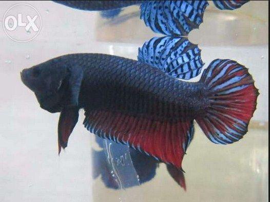 Jenis Ikan Cupang Adu