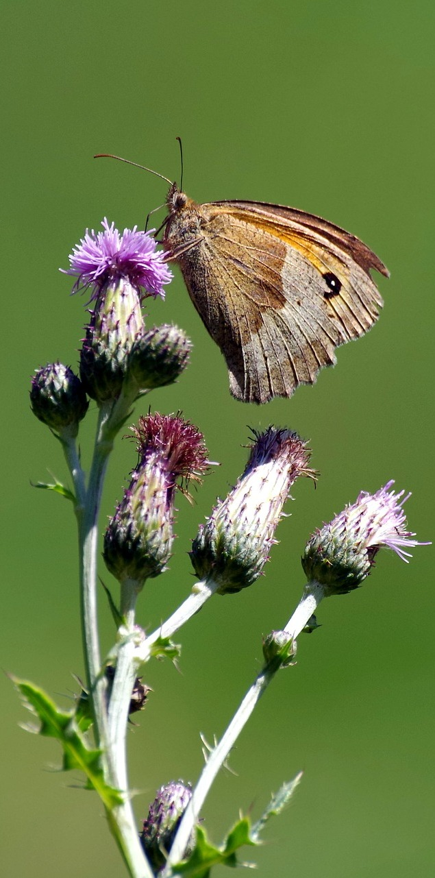 A butterfly on a thistle flower.