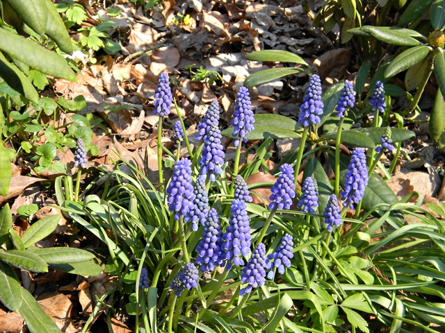 Małe, niepozorne niebieskie kwiatki w wojsławickim arboretum.