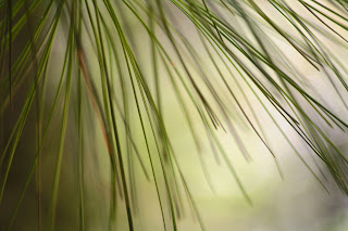 NATURAL TEXTURES pine needles 1 by ibjennyjenny.jpg