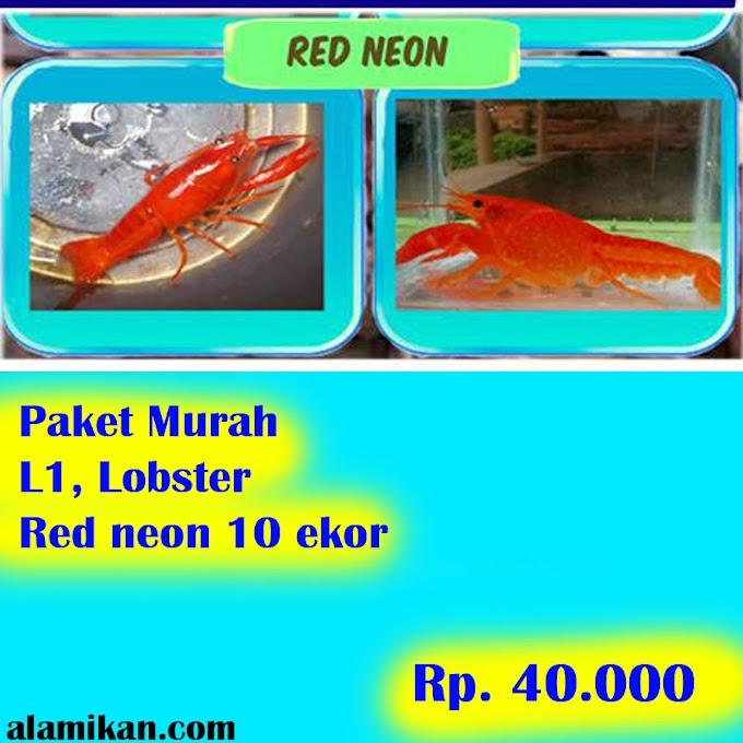 Red Neon Lobster Akuarium 10 Ekor