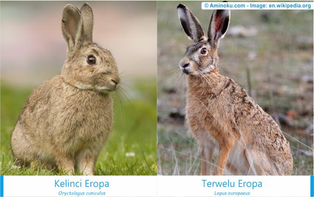 Perbedaan kelinci eropa dan terwelu eropa