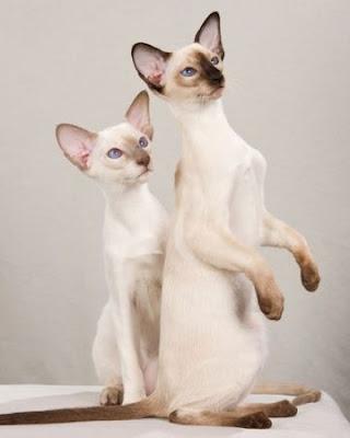 Modern Siamese Cats Singapore