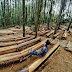 Fakta Menarik Hutan Pinus Mangunan Imogiri