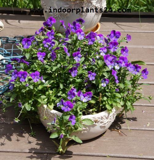 Browallia speciosa house plant