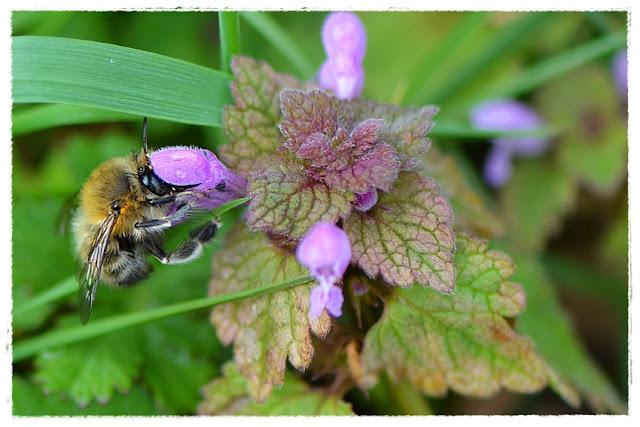 une anthophore plumeuse butinant une fleur de lamier pourpre