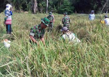 Panen Padi Milik Anggota Poktan Rahmat III didampingi Personil Babinsa Koramil 07/Stabat