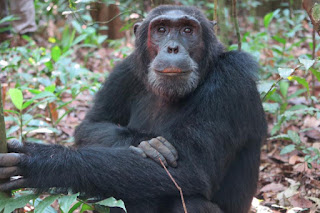 chimpanzee tracking, chimps trek, uganda chimps, kibale chimps tour, chimps permits, chimpanzee tracking permit uganda, low cosst accomodation kibale, fort portal hotel, good lodge kibale, tour operator kibale, book chimps permit kibale, chimpanzee walk, primate walks kibale, primate tour uganda, budget safaris uganda, game lodges uganda, lodge safari uganda, game viewing safari uganda, Wildlife Safari Uganda, chimps tour uganda, kibale chimps, Gorilla safari, uganda gorilla safari, Uganda Tours, Uganda Tour, Tour Uganda, Queen Elizabeth National Park, Uganda Safari parks, Uganda Holiday, Uganda Vactions, Wildlife Tour in Uganda, Safari to Uganda, Uganda Parks, guided tours uganda, kibale forest tour,chimps,kibale,chimpanzee,Fortportal,primates,Kaninga,crater lakes, kibale chimps safari, book uganda lodges, uganda tour operator