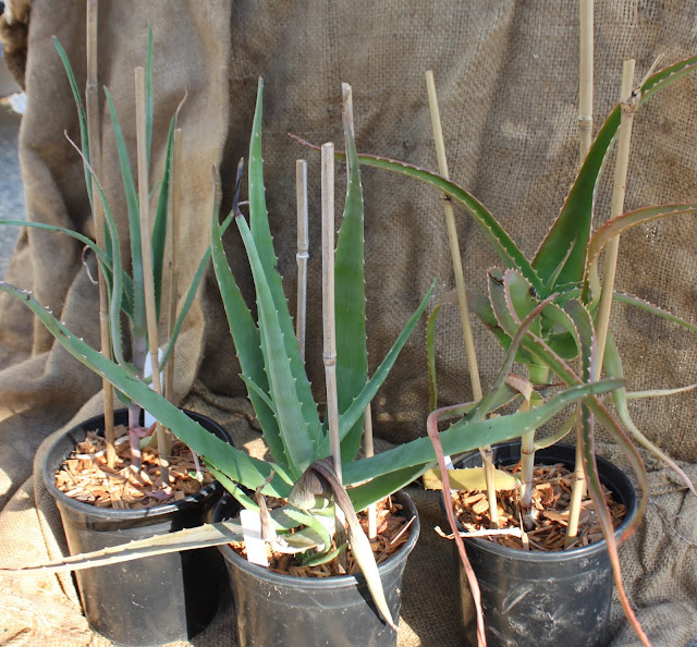 Mail order plants from Institute for Aloe Studies