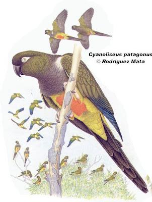 Loro barranquero Cyanoliseus patagonus