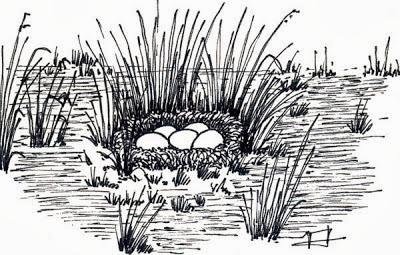 Sirirí colorado Dendrocygna bicolor