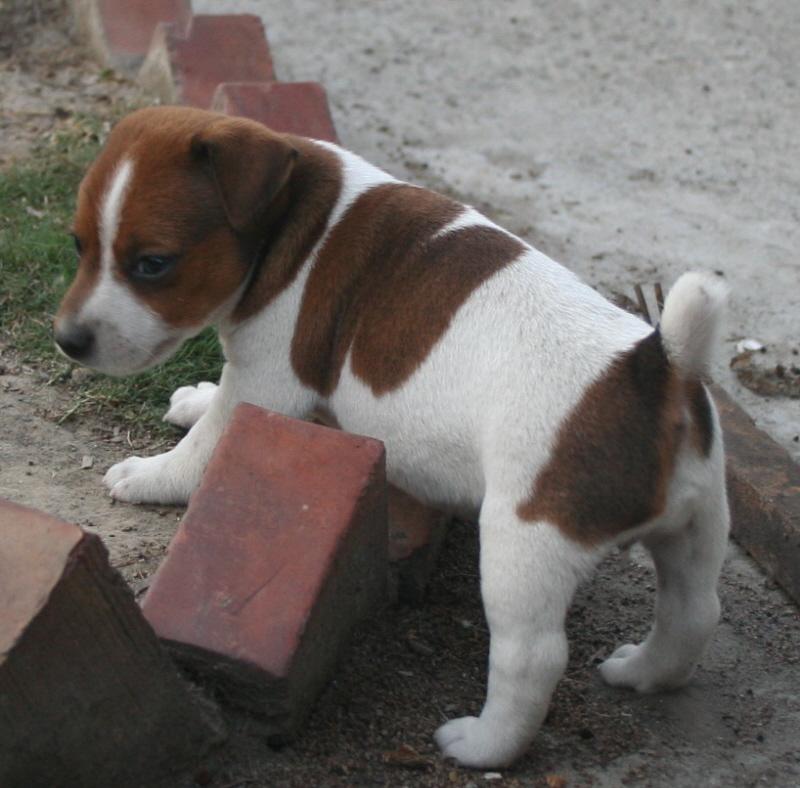 傑克羅素梗JRT-阿法犬舍: #J0151