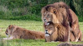 Ανωμαλίες στο ζωικό βασίλειο. 2 αρσενικά λιοντάρια με ...ιδιαιτερότητες (φωτος)