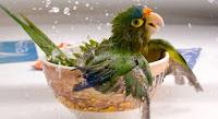 Dengan Anda Meningkatkan Frekuensi Mandi Burung