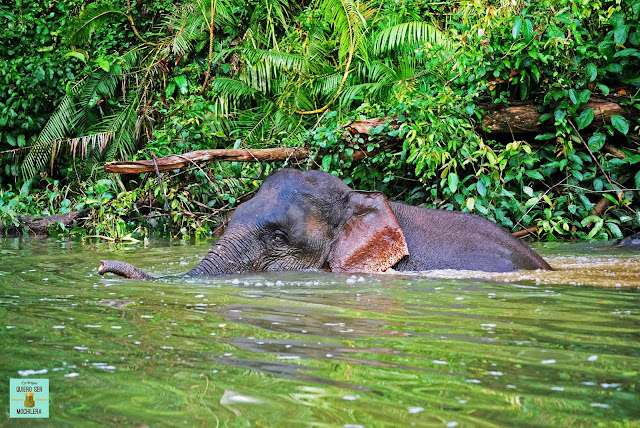 Elefante pigmeo en el río Kinabatangan, Borneo (Malasia)