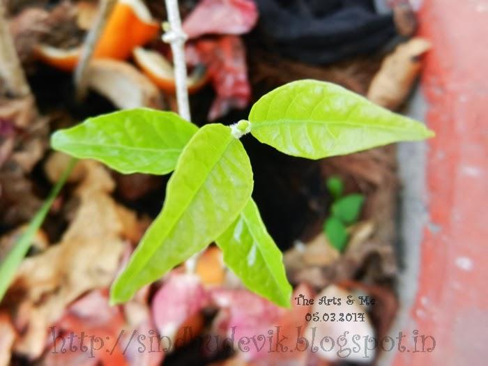 Shankarapura Mallige Baby Leaves