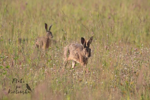 Para zajęcy idąca przez wysokie trawy