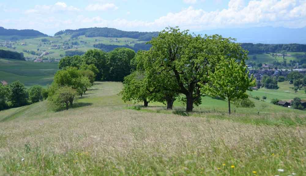 Kirschen-Hochstammbäume