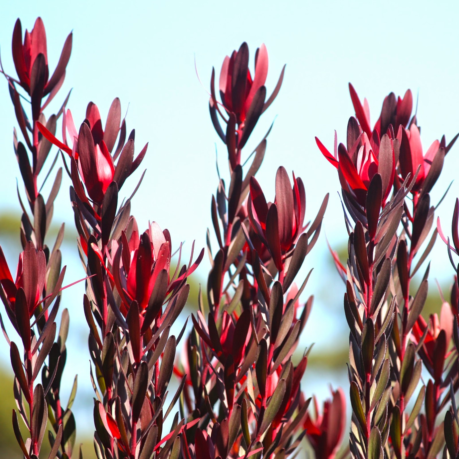 swallows nest farm leucadendron love. Black Bedroom Furniture Sets. Home Design Ideas