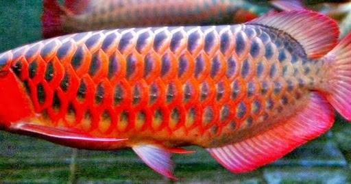Arwana Super Red | Akuarium Ikan Hias