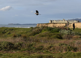Heron in flight, Ritz-Carlton hotel in the background, Half Moon Bay, California