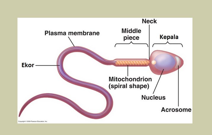 Sperma pengertian struktur fungsi proses terbentuk ilmu dasar struktur sperma ccuart Choice Image