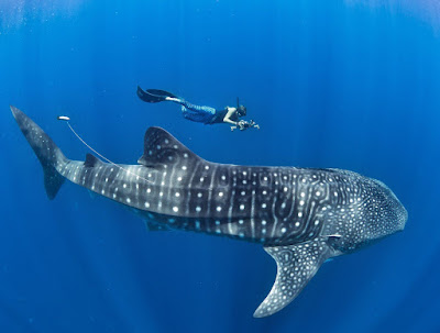 Whale sharks were omnivores Planet-today.com