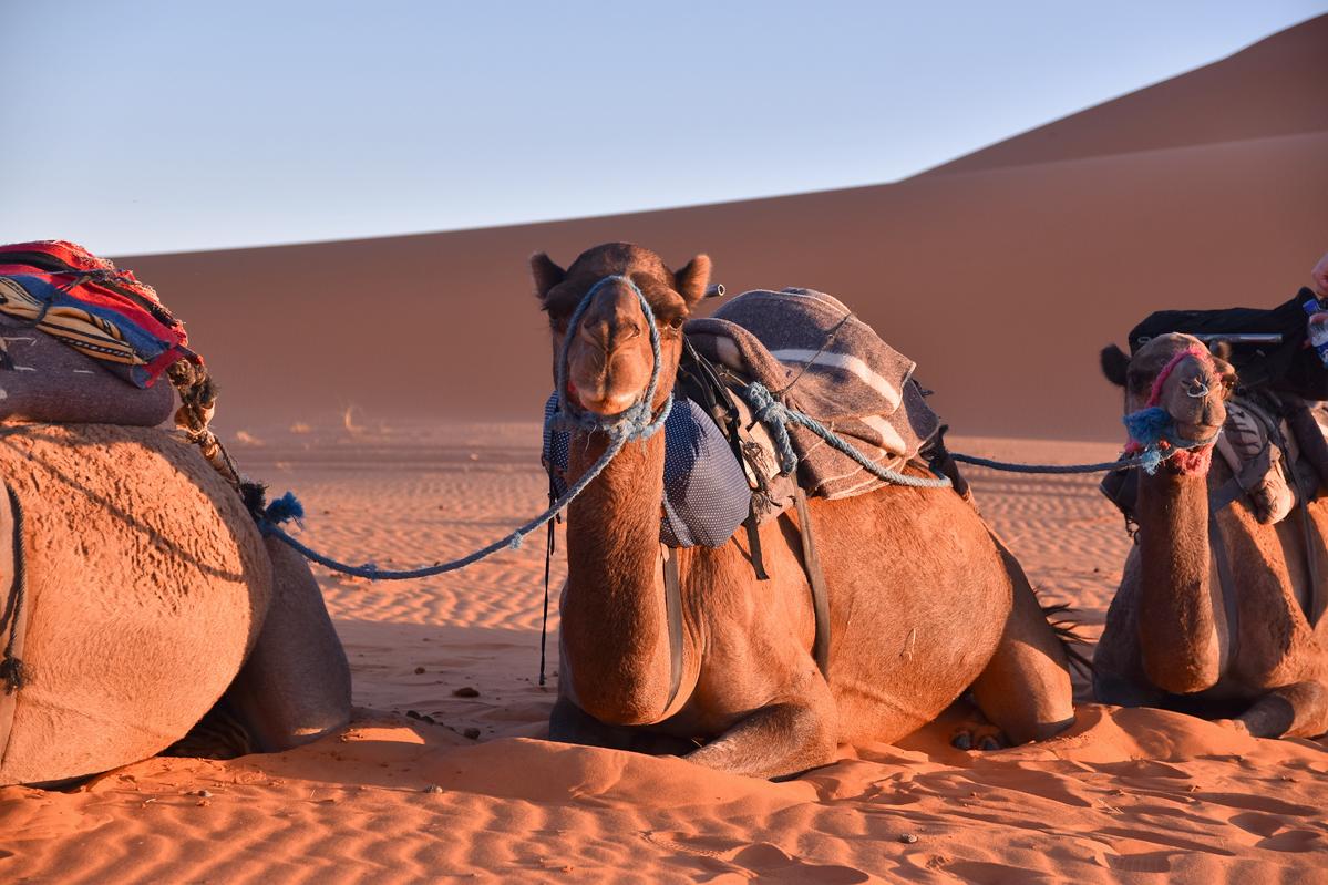 Marokko-Travel-Diary  - Kameltrip