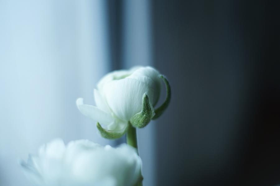 Blog + Fotografie by it's me! - Wohnen - Makro einer weißen Ranunkel