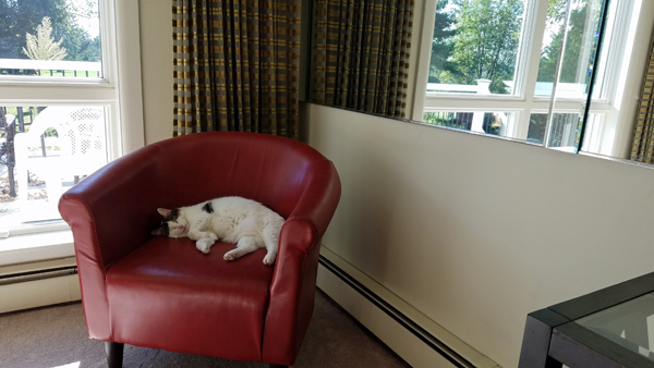 image of Olivia the White Farm Cat asleep on a red chair